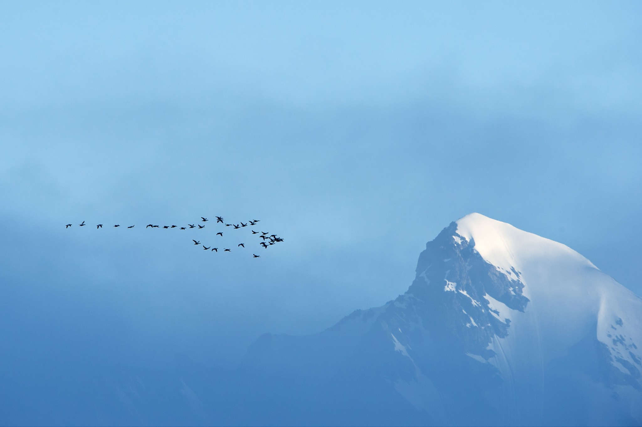 EideCommmon Eiders and Mountain, Svalbard, Arctic