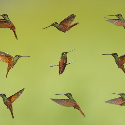 Hummingbirds Collage