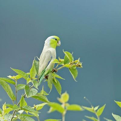 Pacific Parrot